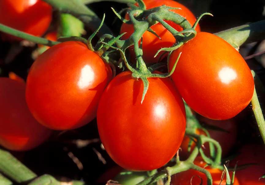 Hybrides de tomates F1