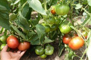 Как да давате домати
