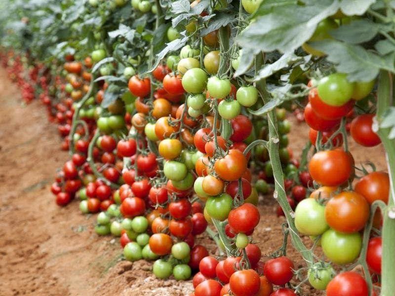 Нормализира доматите