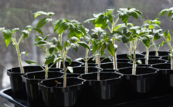 Hardening of seedlings