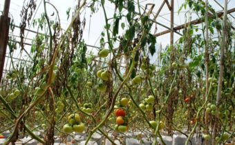 доматите изгорени
