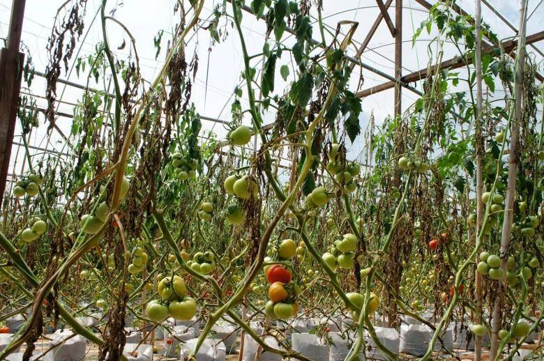 tomatoes burned