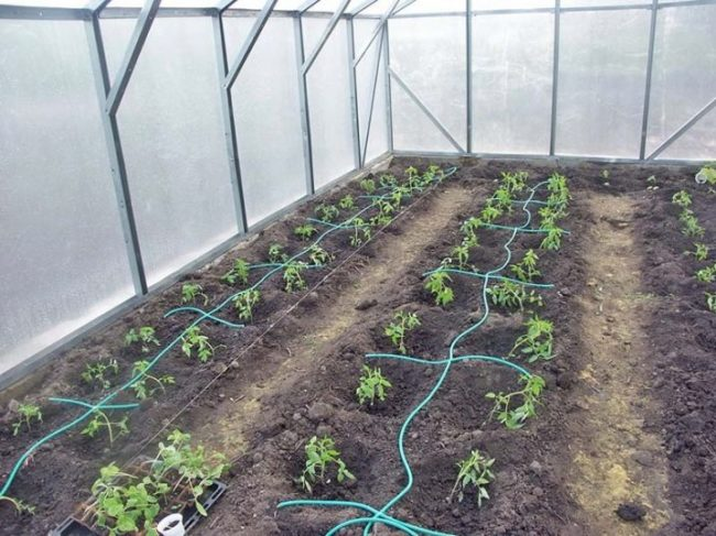 watering in the greenhouse