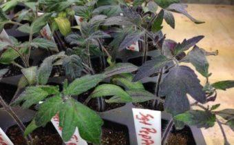 Plantules pourpres