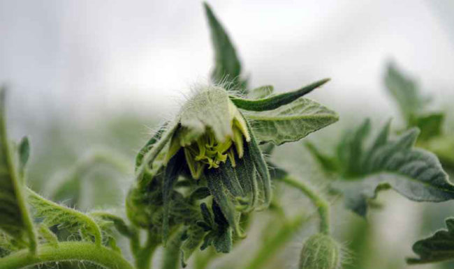 Fasciation (Topping of tomato flowers