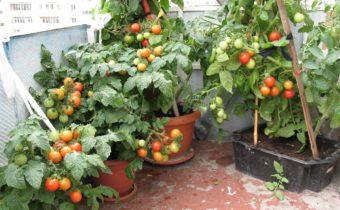домати на перваза на прозореца