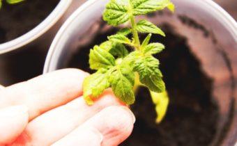 Plants de tomates minces et longs