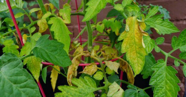 сухи и жълти листа при разсад