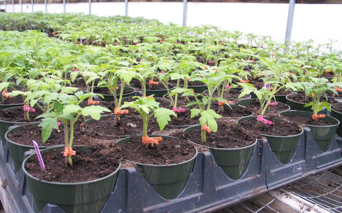 присаждане на домати