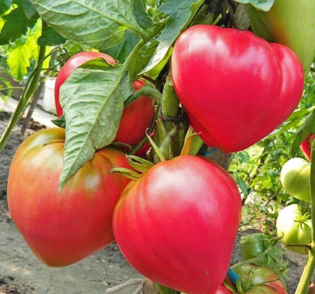 sweet variety of tomato