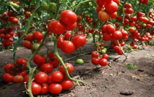 sweet varieties of tomatoes