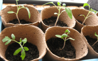 plants de tomates en pots
