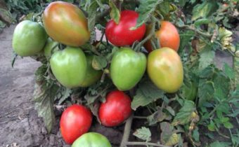tomatoes on a bush
