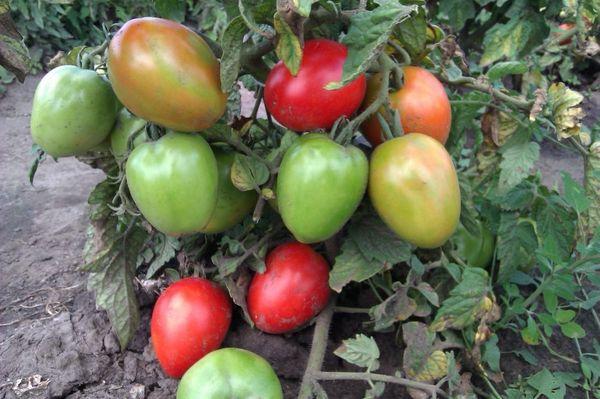домати на храст