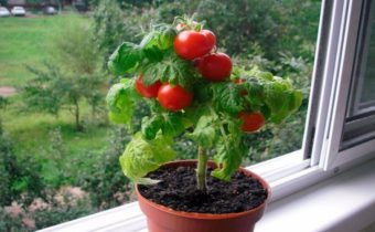 Dwarf varieties of tomatoes that do not require staking