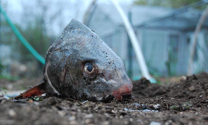 рибена глава