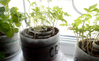 seedlings in rolls