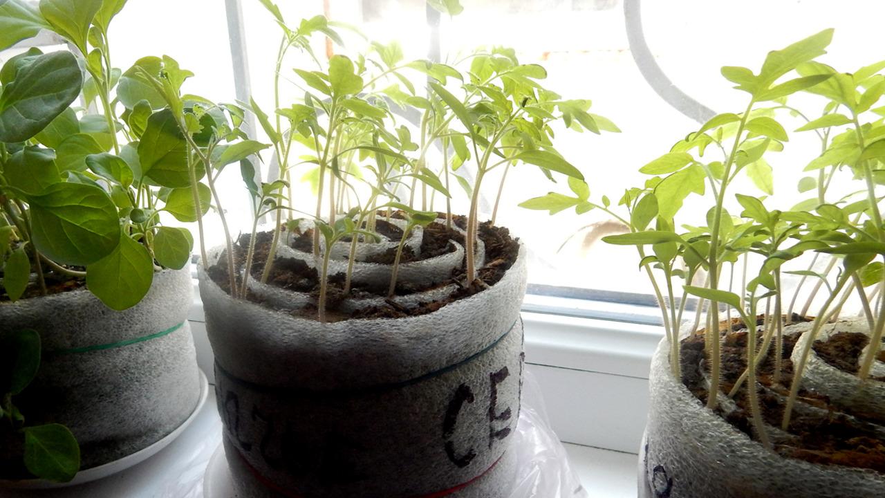 seedlings in rolls