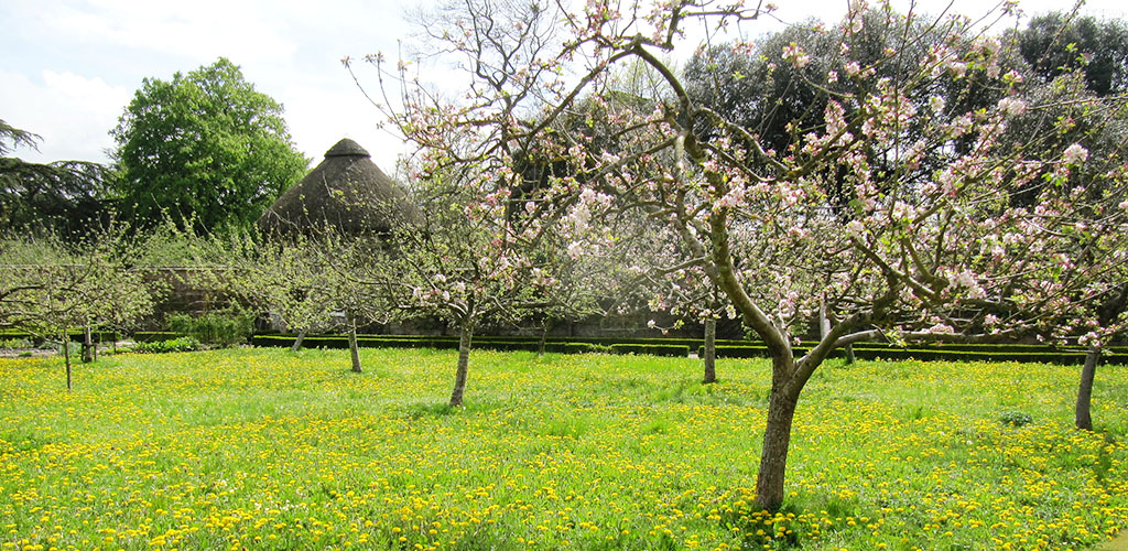 ябълкови дървета цъфтят
