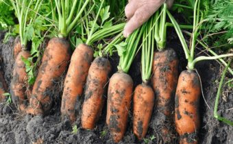 carrot in the garden