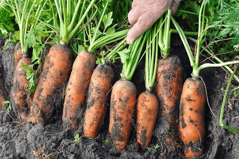 carotte dans le jardin