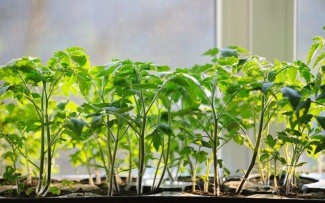кога да се пресаждат домати, засети през април
