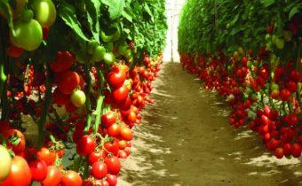 висококачествени сортове домати