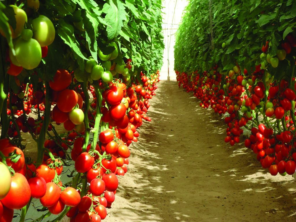 high-quality tomato varieties