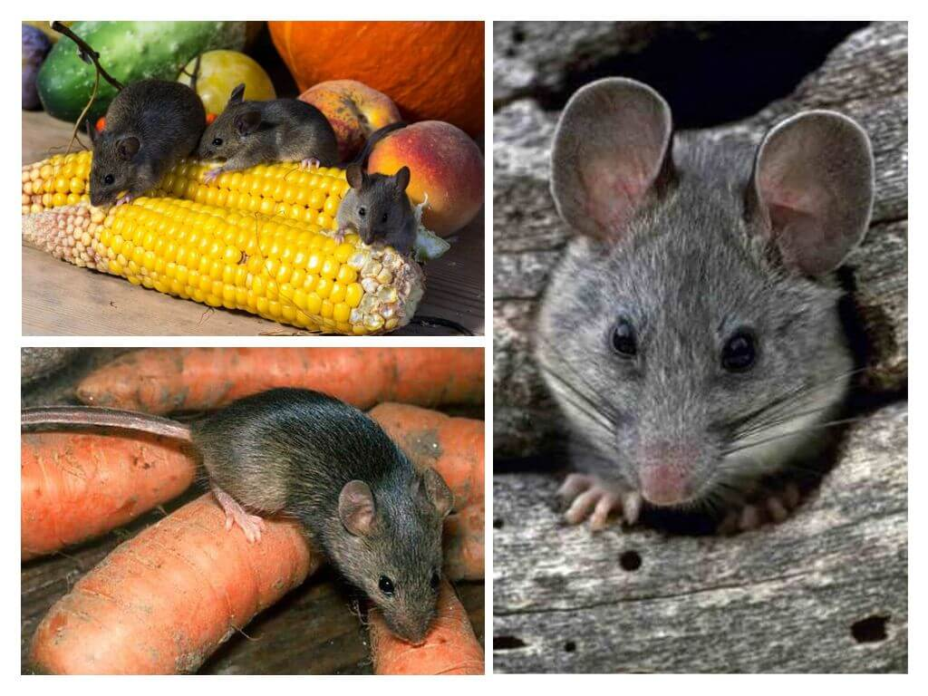 rodents at their summer cottage and in a private house