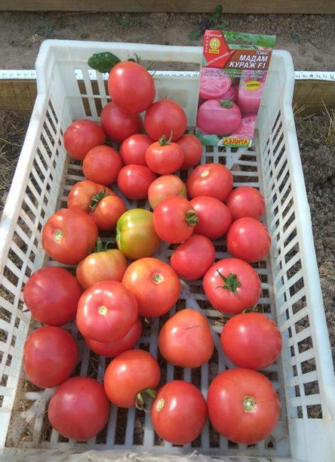 Variété de tomate