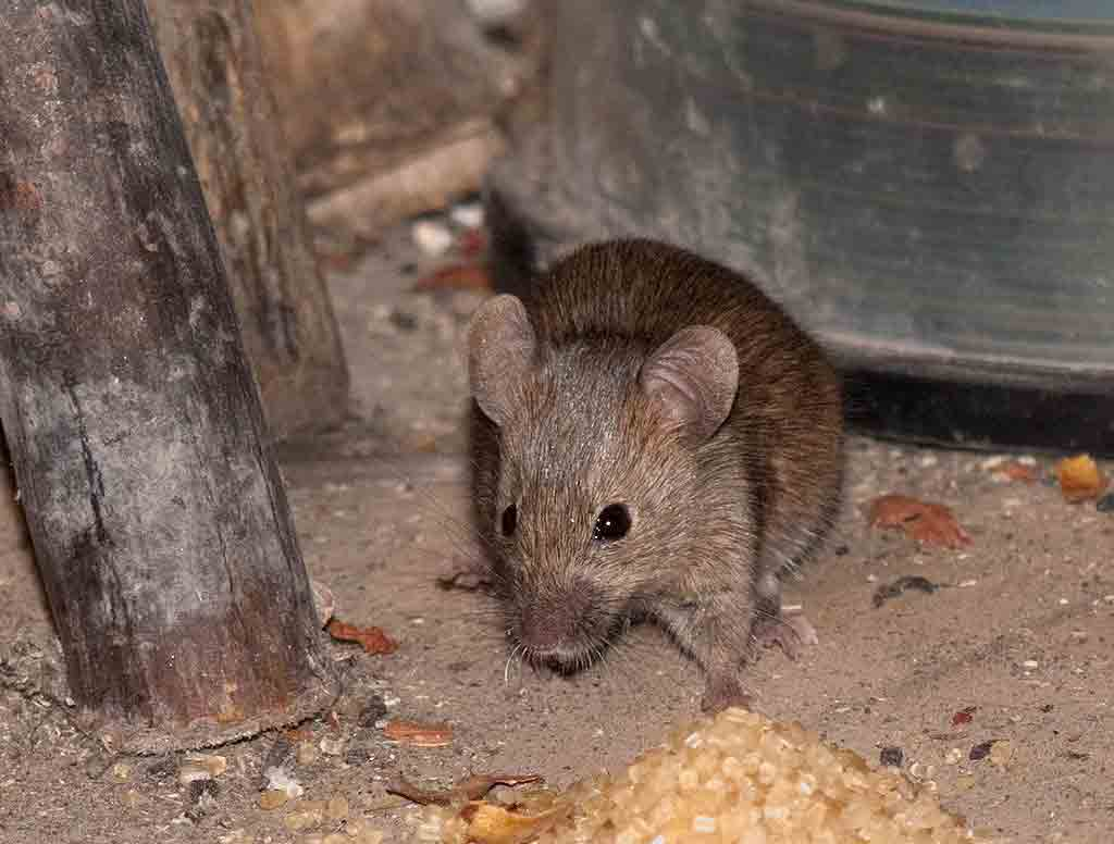 mouse in a country house