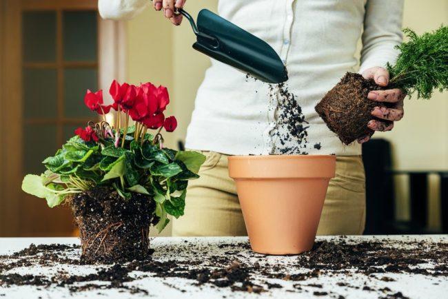 repiquage de plantes d'intérieur