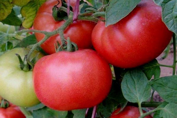 tomat-Весна