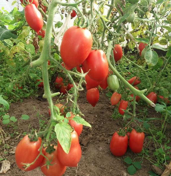 сортове домати за оранжерията