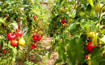 Стандартни домати