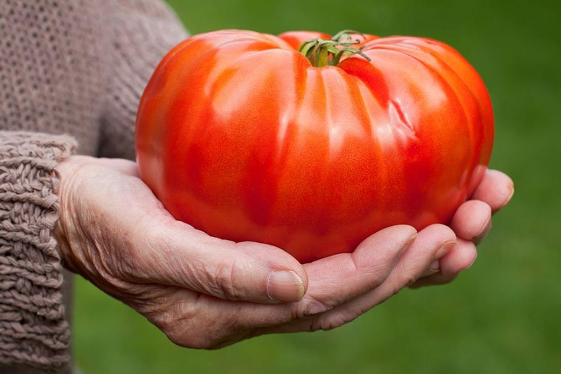 tomato besar