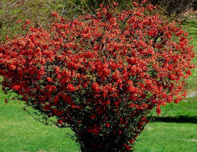 Устойчиви на замръзване цветни храсти