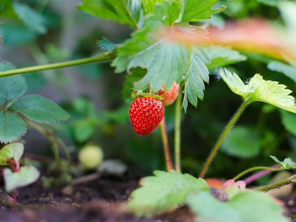 Garlic Next To Strawberries