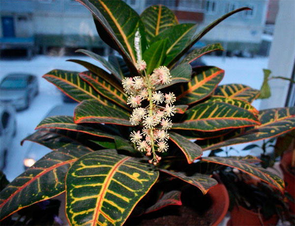 Causes of Croton Flowering
