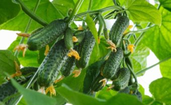superbug cucumbers