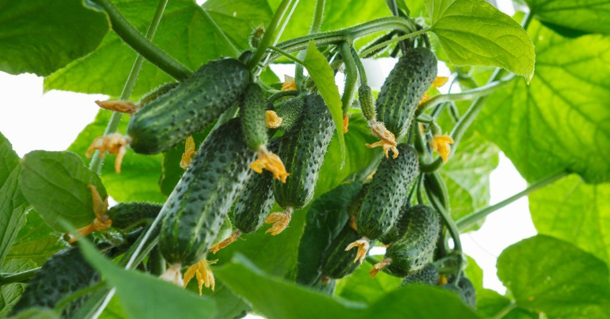 superbug cucumbers